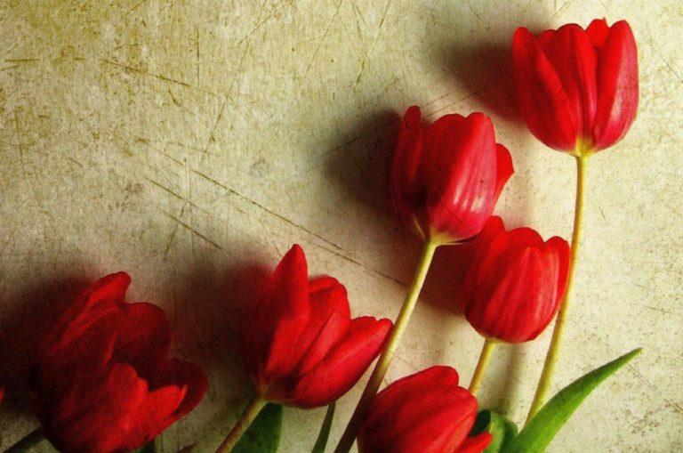 Tulpių paroda