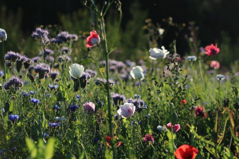 Gėlių pieva vasarą